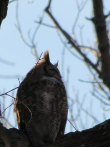 owl as totoro